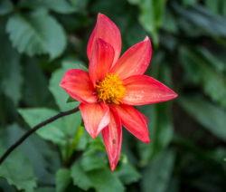 Einfachblühende Dahlie Rote Blüte