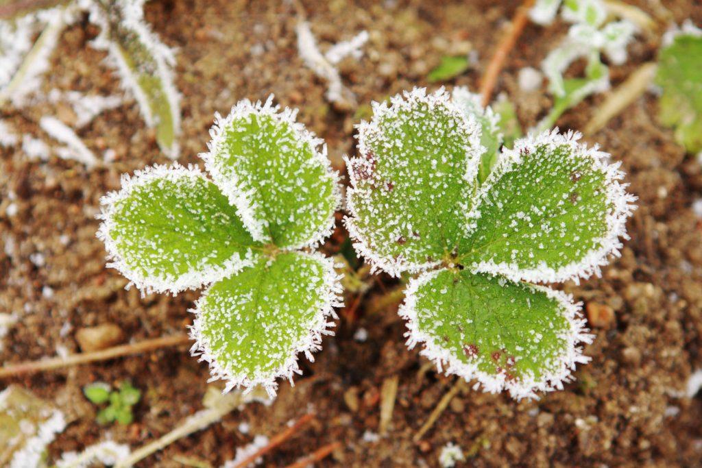 Erdbeerpflanze gefroren