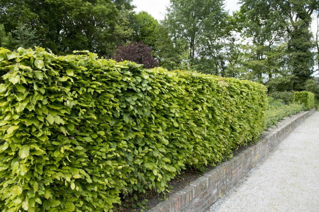 buchenhecke richtig pflanzen anleitung in 8 schritten plantura. Black Bedroom Furniture Sets. Home Design Ideas