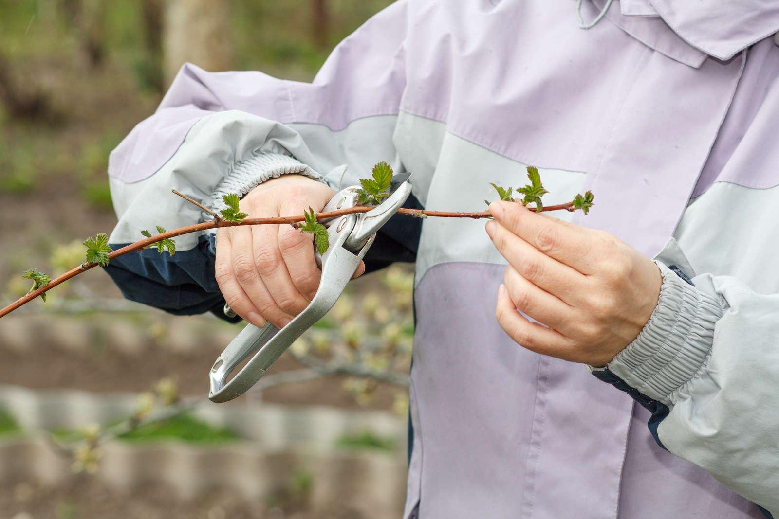 himbeeren experten tipps vom anpflanzen bis zur ernte plantura. Black Bedroom Furniture Sets. Home Design Ideas