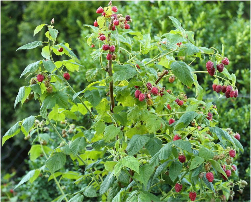 Himbeerstrauch mit Beeren