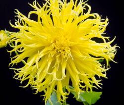 Hirschgeweih-Dahlie Gelbe Blüte