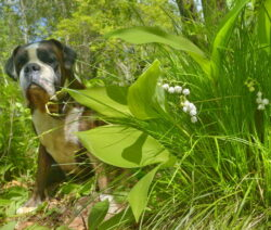 Hund Neben Maiglöckchen Giftig