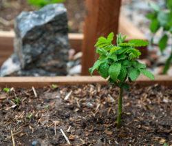 Junge Brombeerpflanze In Beet