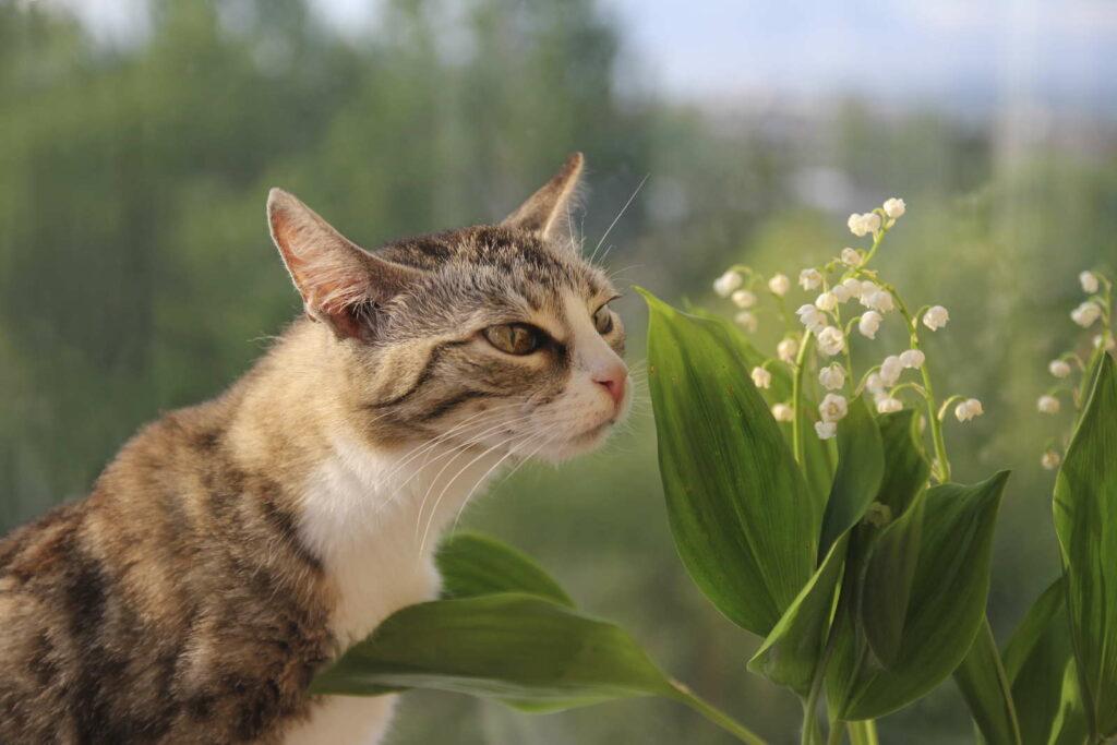 Katze schnüffelt an Maiglöckchen giftig