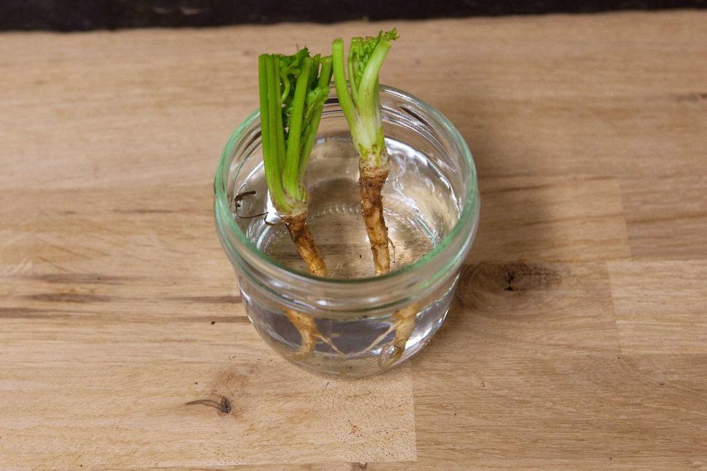 Koriander in Glas mit Wasser nachwachsen lassen