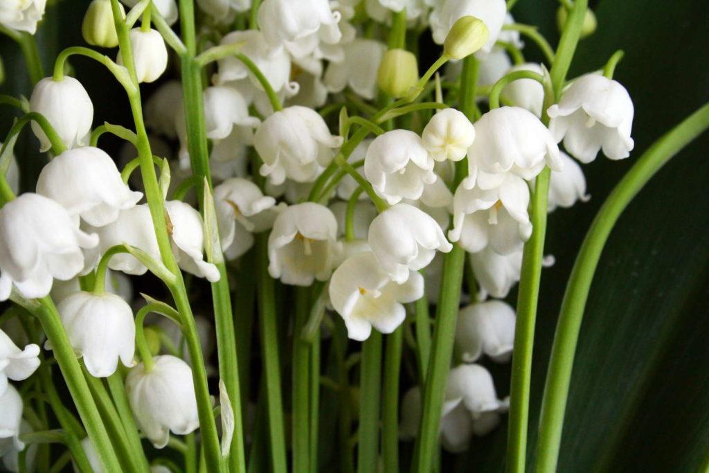 Maiglöckchen weiße Blüten naturschutz Duft