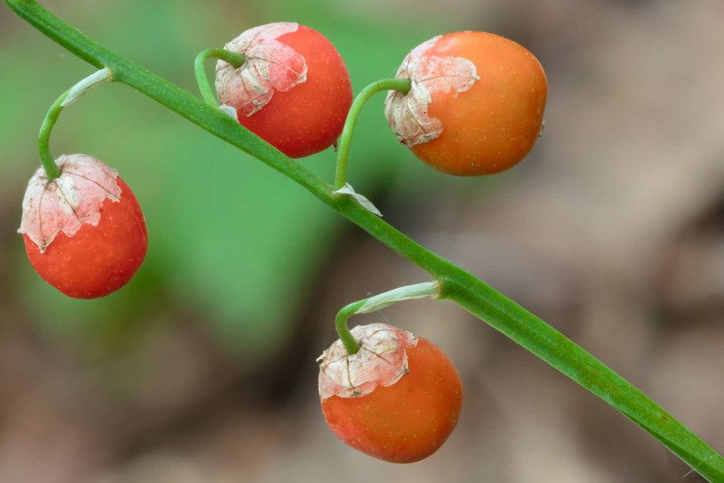 Maiglöckchen Früchte Beeren