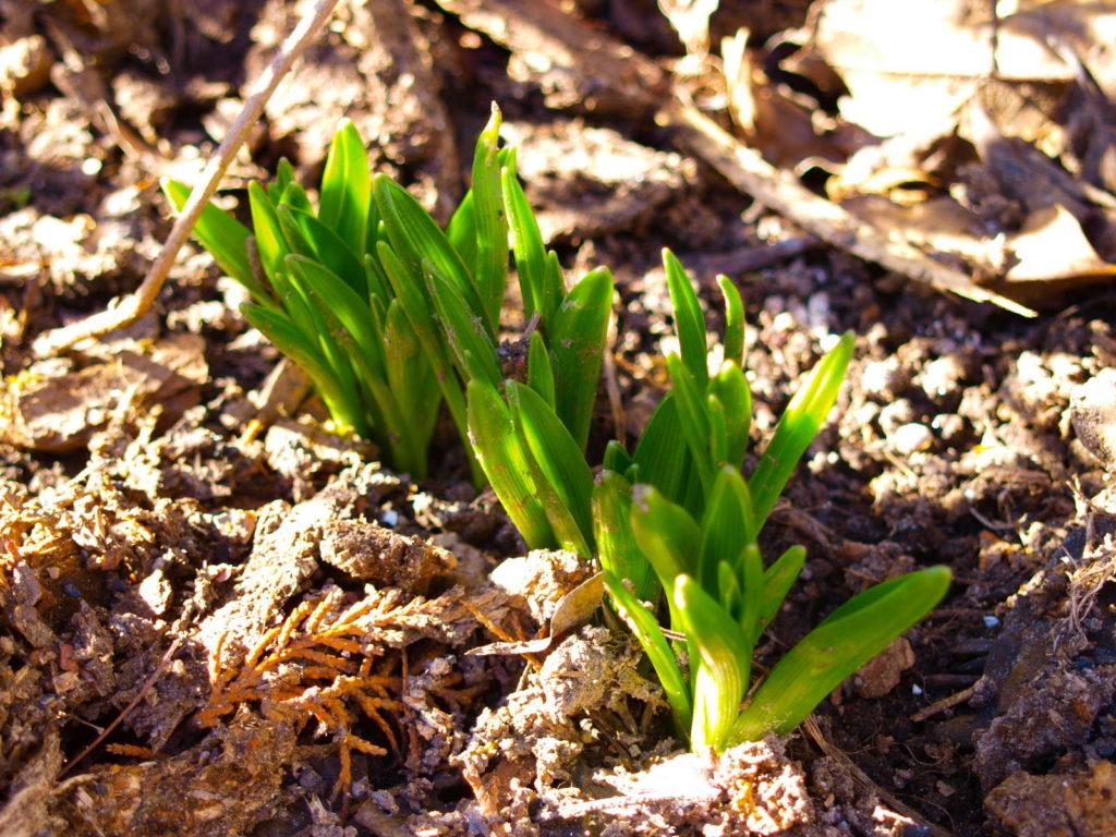 Maiglöckchen sprießen im Januar