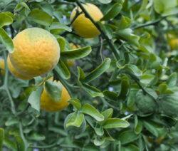 Orangenbaum Bitter Orange