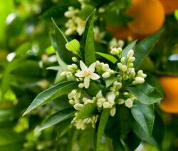 Orangenbaum Blüte