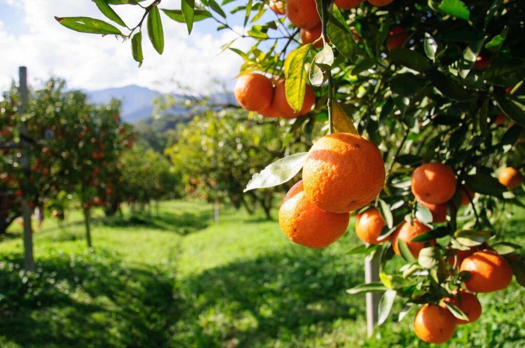 Orangenbaum Plantage