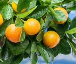 Orangenbaum Tangerine