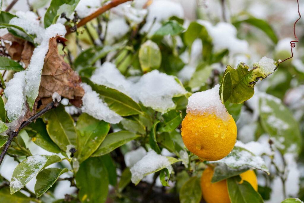 Orangenbaum Winter Schnee