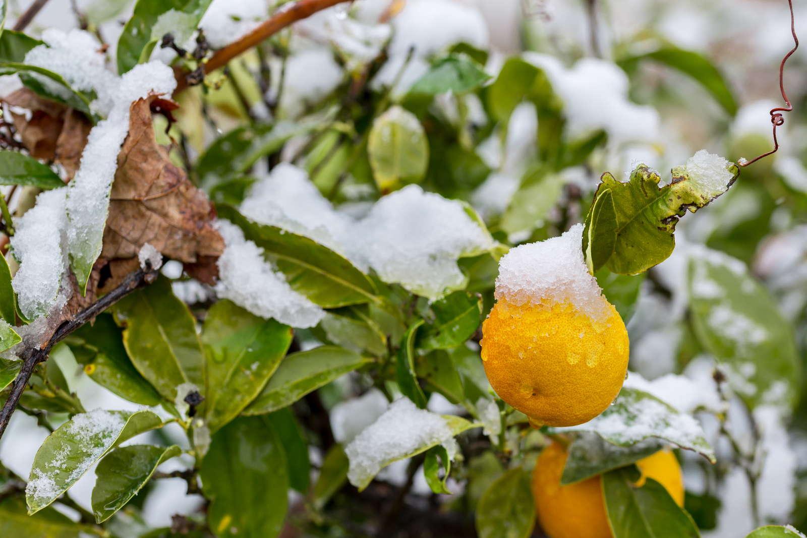 Orangenbaum Pflanzen, Pflegen,Überwintern& Co Plantura ~ 26155015_Sukkulenten Überwintern Temperatur