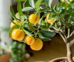 Orangenbaum in Topf 2