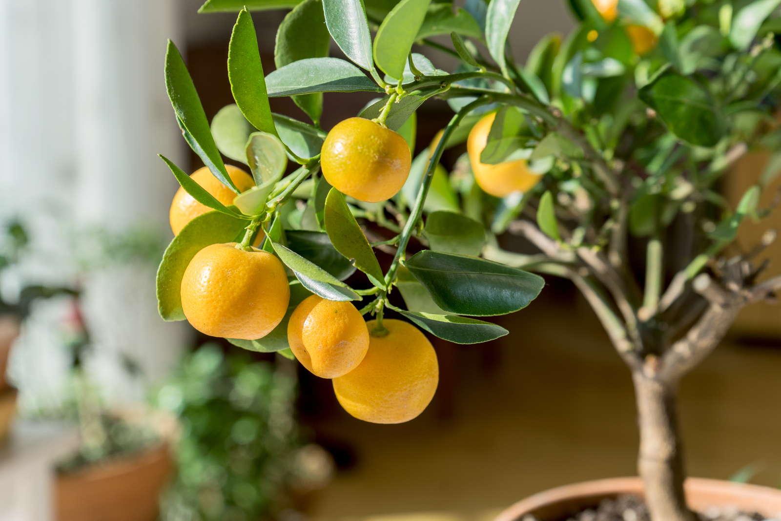 orangenbaum schneiden anleitung vom experten plantura. Black Bedroom Furniture Sets. Home Design Ideas