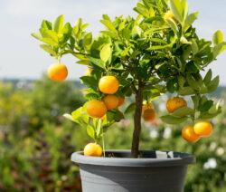 Orangenbaum In Topf