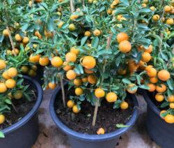 Orangenbaum In Topf 4