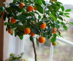 Orangenbaum In Topf Fensterbank