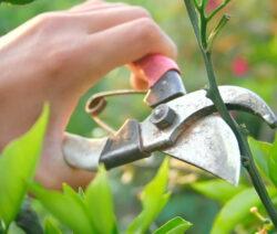 Orangenbaum schneiden Ast Schere