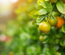Orangenbaum Unreife Orange