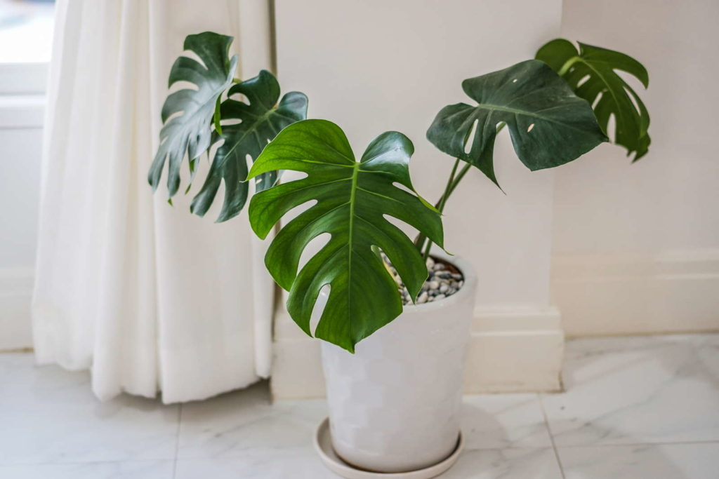Philodendron in weißen Topf