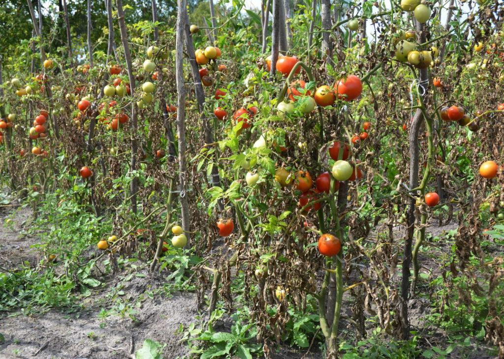 Phytophthora Infestans Tomatenpflanzen
