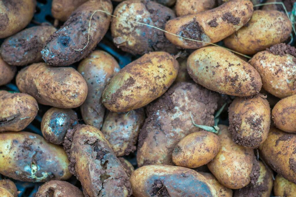 Phytophthora infestans Kartoffeln verfault