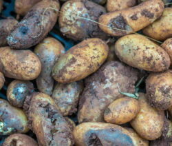 Phytophthora Infestans Kartoffeln