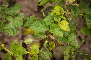 Phytophthora Infestans Tomate Blatt