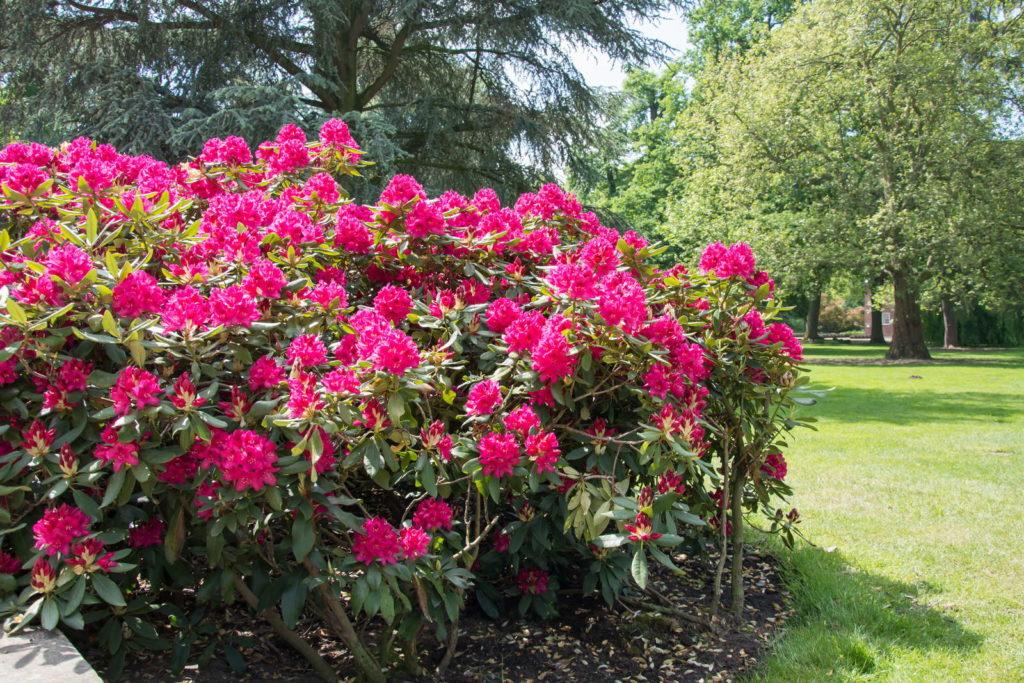 Pinker Rhododendron Strauch Busch im Beet