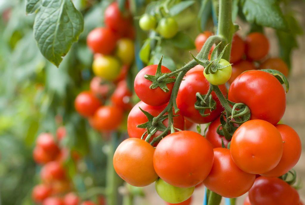 Reife Tomaten am Strauch