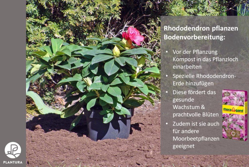 Rhododendron pflanzen Blumenerde Floragard Plantura