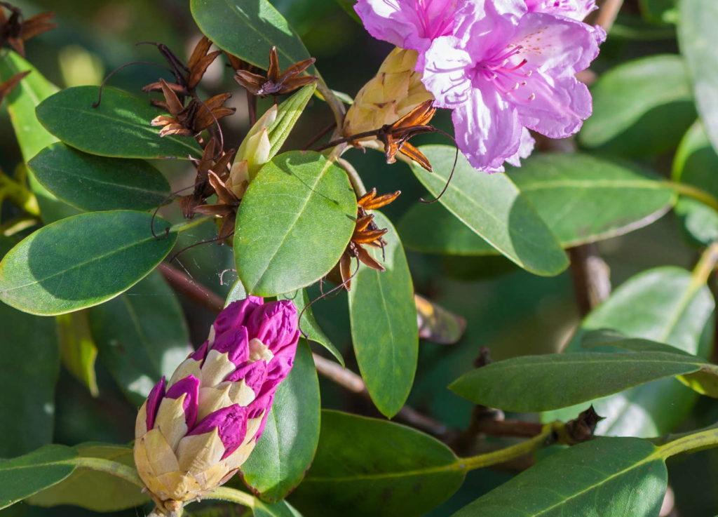 Rhododendron Blüten verwelkt