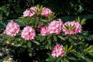 Rhododendron 'Helsinki University' Rosa Blüten