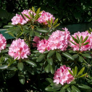 Rhododendron Pflege: Gießen, Düngen & Schneiden (Experten-Tipps)