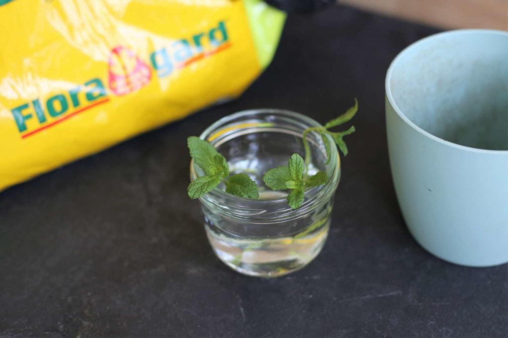 Minze Steckling in Glas mit Wasser Minze nachwachsen lassen