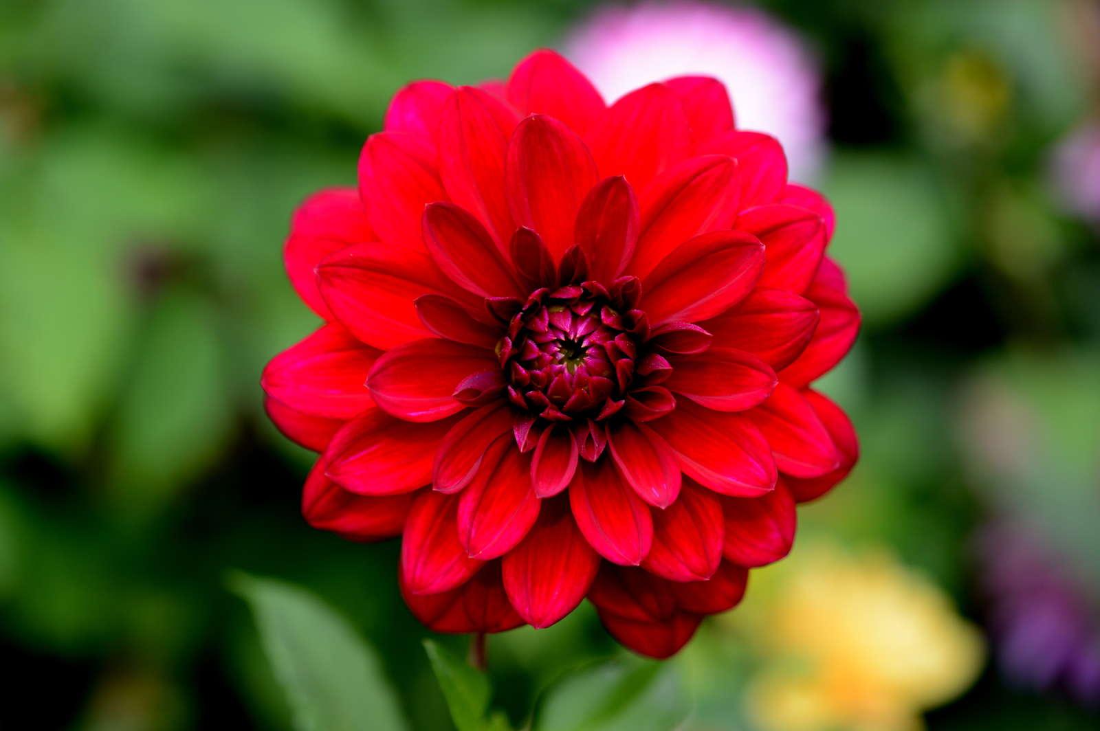 Prächtig 10 Tipps für blühfreudige & gesunde Dahlien - Plantura #GX_96