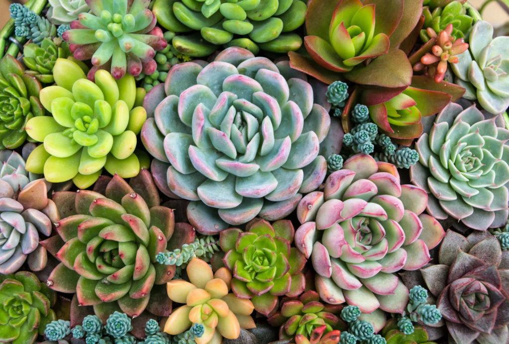 Sukkulenten Pflanzen pflegeleicht