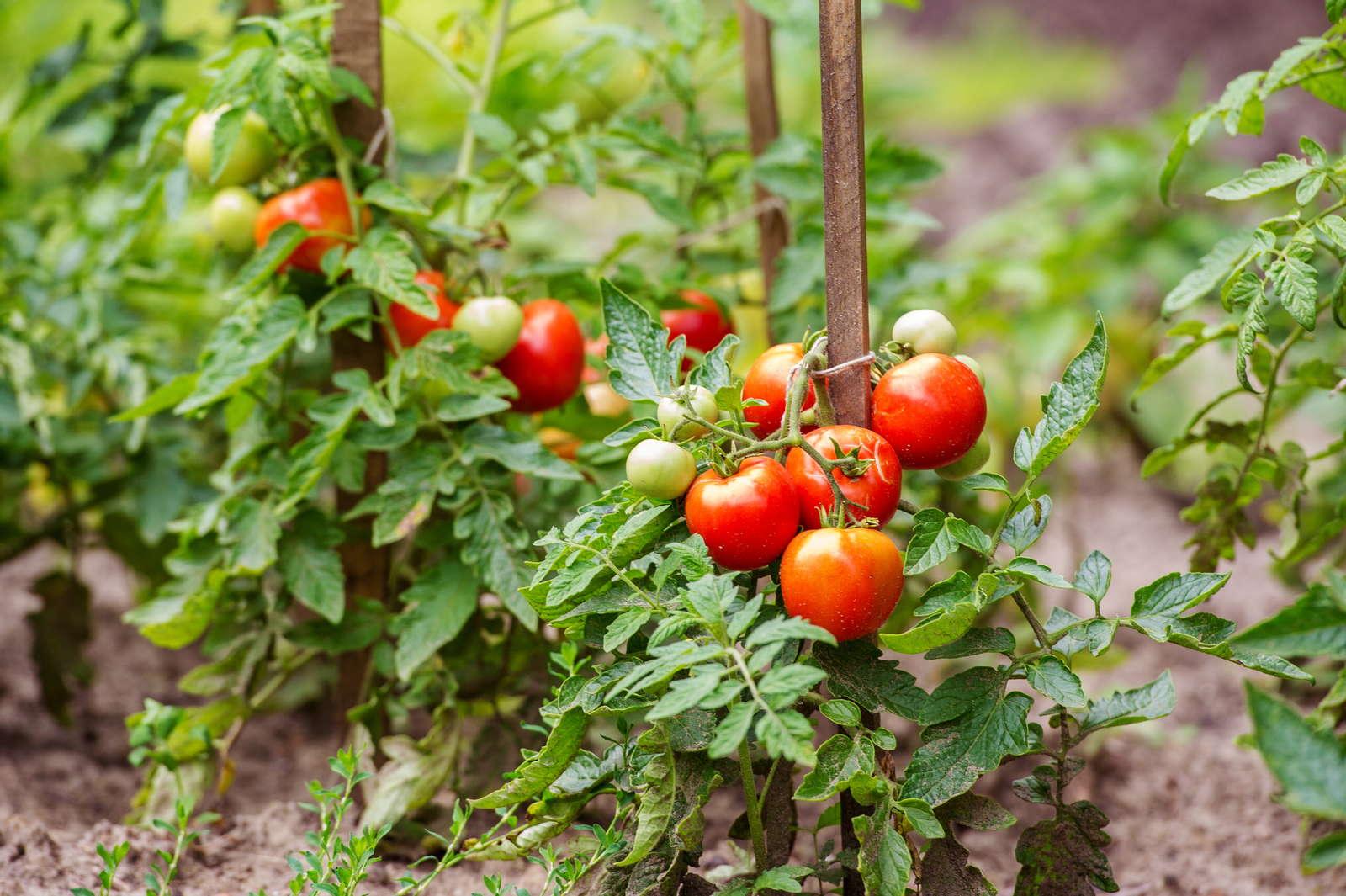 10 tipps zur perfekten tomate aus dem eigenen garten. Black Bedroom Furniture Sets. Home Design Ideas