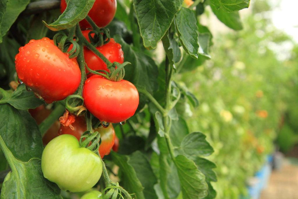 Tomate Tomatenpflanze im Garten