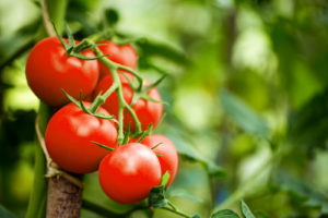 Tomate Tomatenpflanze Garten