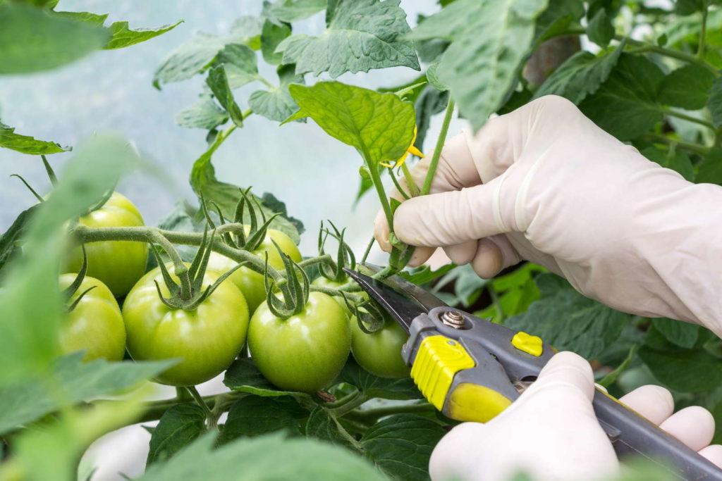 Tomate ausgeizen Schere Hände mit Hanschuhen