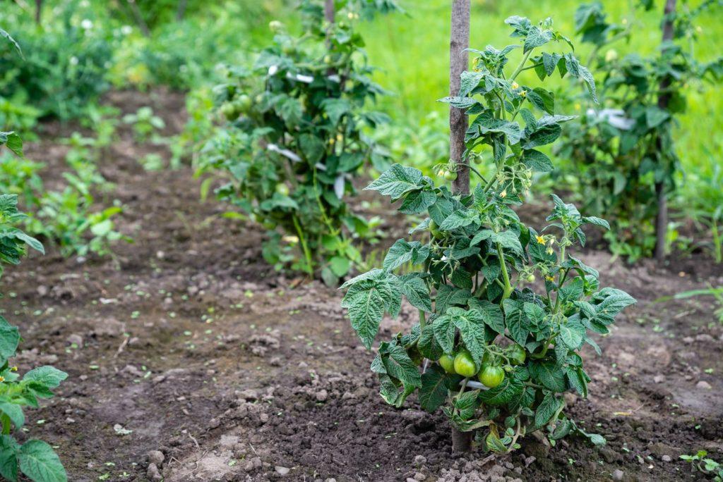 Tomaten mit Rankhilfe