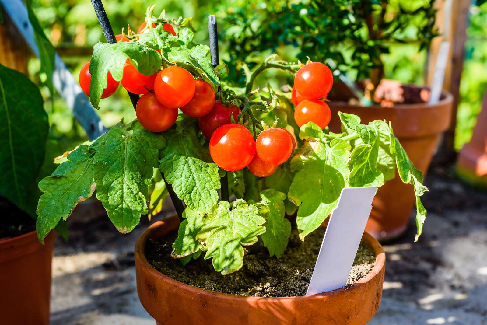 10 tipps zur perfekten tomate aus dem eigenen garten plantura. Black Bedroom Furniture Sets. Home Design Ideas