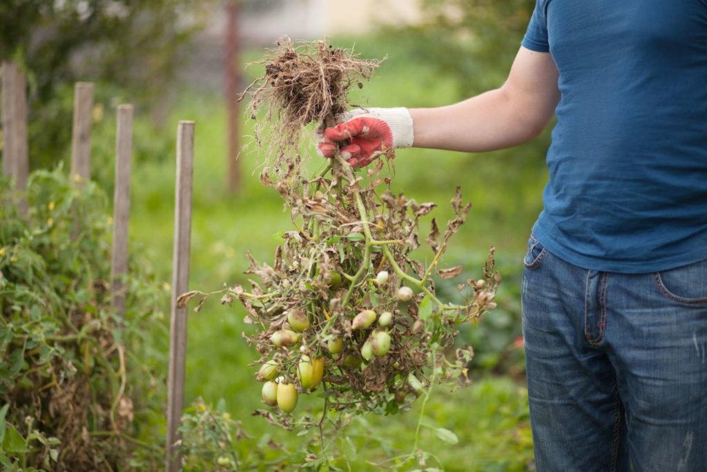 Tomatenpflanzen entfernen phytophthora infestans 2
