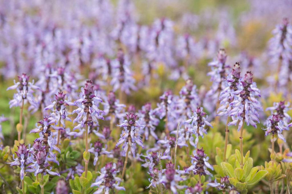 Verpiss dich Pflanze violette Blüten