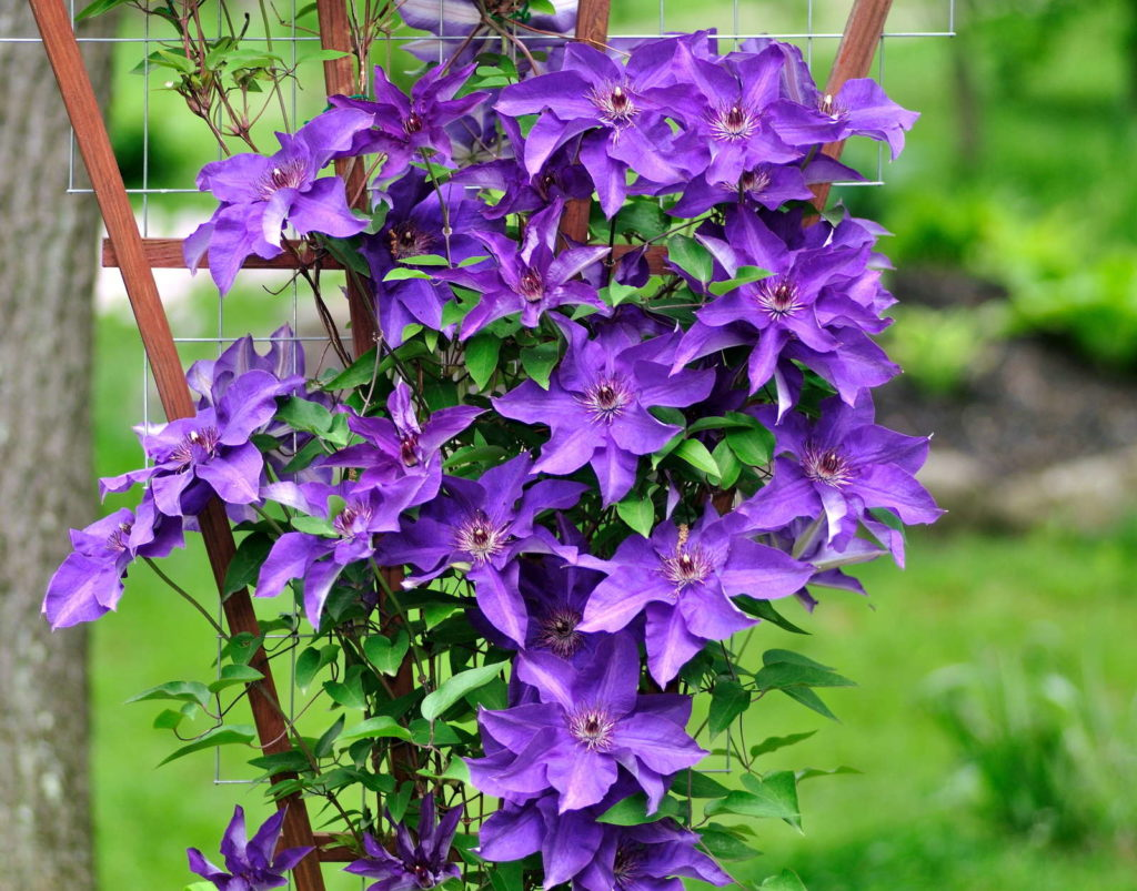 Violette Clematis Rankhilfe aus Holz
