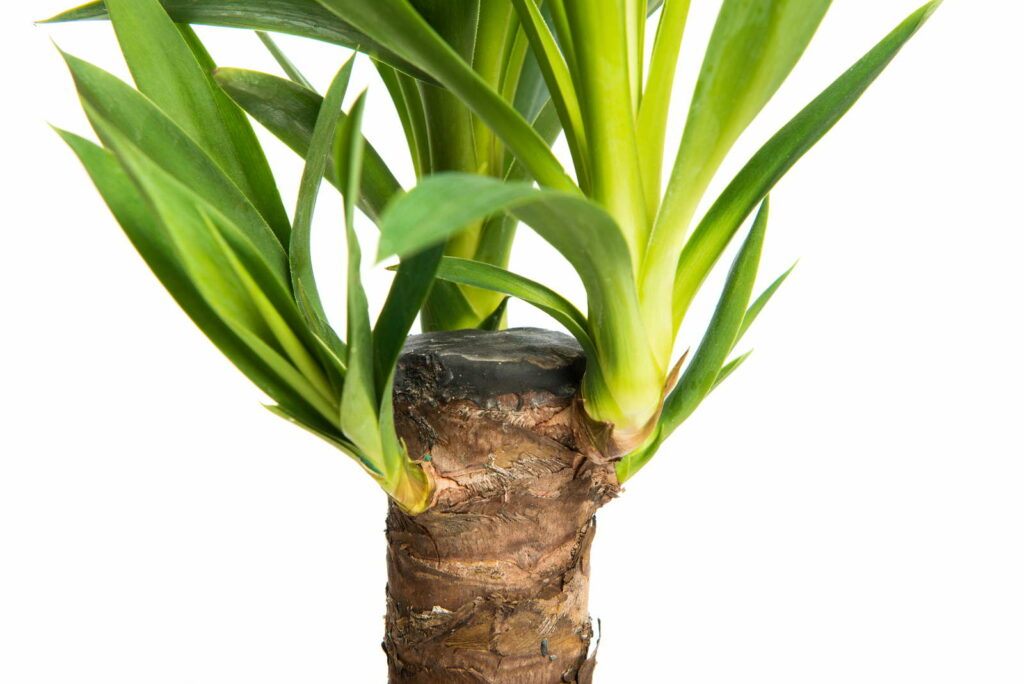 yucca palme vermehren tipps vom experten plantura. Black Bedroom Furniture Sets. Home Design Ideas